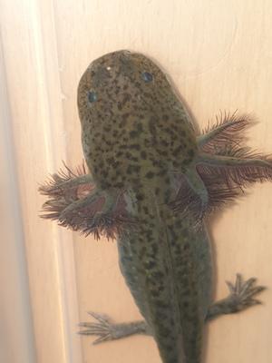 Axolotl Jungtier - unbekannt