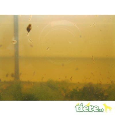 Gemeiner Wasserfloh (Daphnia pulex) als Leben