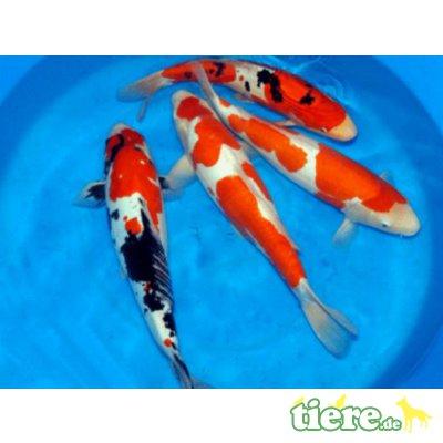 Goldfisch - unbekannt