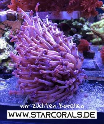 Korallen für Salzwasseraquarien zu verkaufen 1