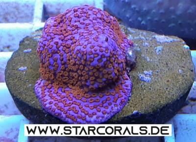 Korallen für Salzwasseraquarien zu verkaufen