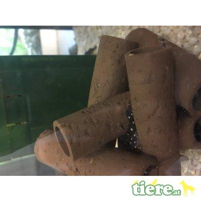 Orinoco Engelsharnischwels (L 201) Jungtier - unbekannt