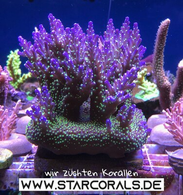 Verkaufe Acropora, Calaustrea, Enchinopora, Goniopora, Millepora und viele andere Korallen Jungtier - unbekannt 1
