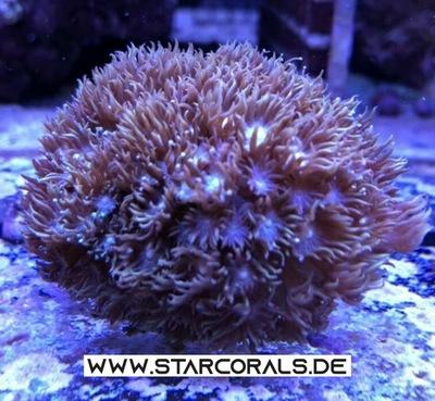 Verkaufe Acropora, Calaustrea, Enchinopora, Goniopora, Millepora und viele andere Korallen Jungtier - unbekannt