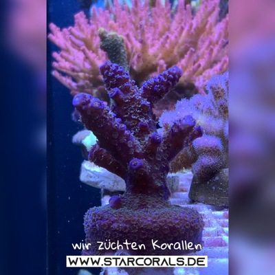 Verkaufe viele Korallen in Oberhausen und NRW (Acropora, Calaustrea, Enchinopora, Goniopora, Millepora u.a.) - unbekannt