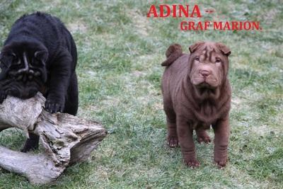 ADINA - GRAF MARION, Sharpei Welpen - Hündin