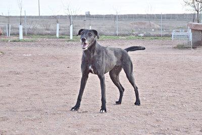 ATILA (M)-Senior, aktiv, rennt gerne, Mischling - Rüde