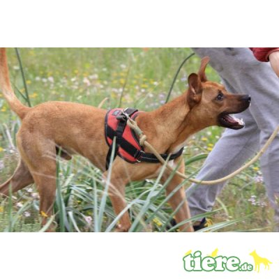 Abbot, Podenco-Mix - Rüde 5