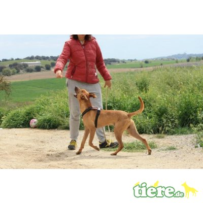 Abbot, Podenco-Mix - Rüde 6