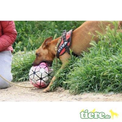 Abbot, Podenco-Mix - Rüde 8