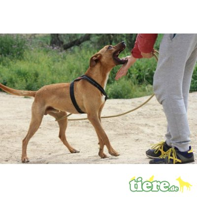 Abbot, Podenco-Mix - Rüde 9
