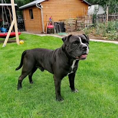 Akito, Englische Bulldogge - Rüde