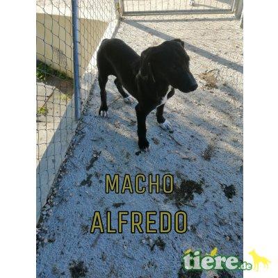 Alfredo, Mischling - Rüde