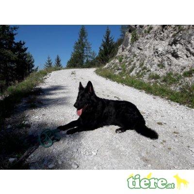 Altdeutsche Schäferhunde Welpen - Hündin