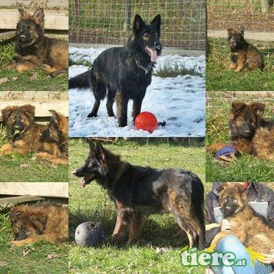 Altdeutsche Schäferhunde Welpen - Rüde
