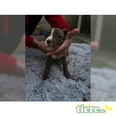 Amerikanischer Pit-Bullterrier - Hündin