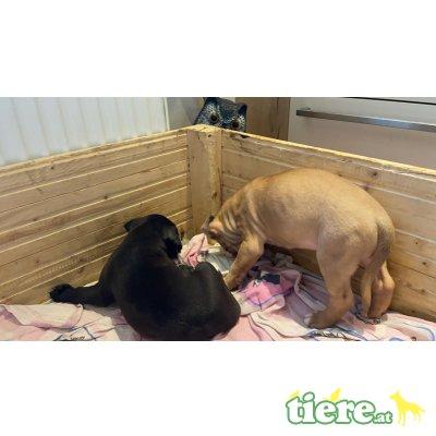 Amerikanischer Staffordshire-Terrier Welpen - Hündin
