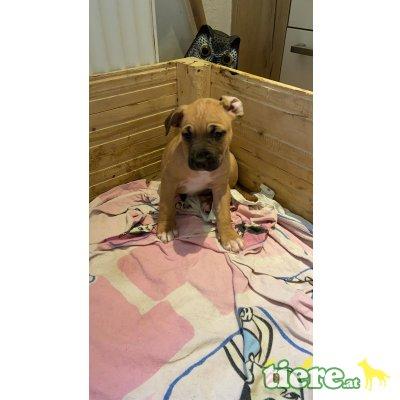 Amerikanischer Staffordshire-Terrier Welpen - Rüde