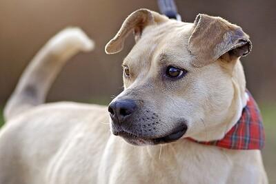 Any, Staffordshire Terrier Mischlingshündin - Hündin