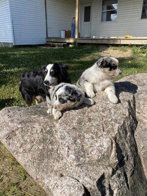 Australian Shepherd Dog Welpen - Hündin 1