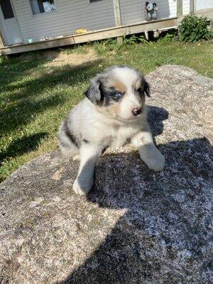 Australian Shepherd Dog Welpen - Hündin