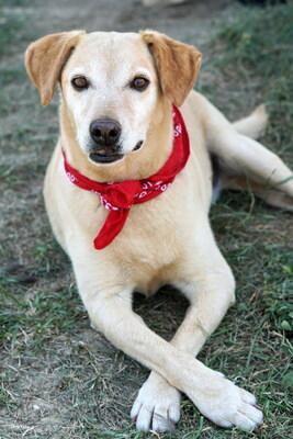BILLY - überaus verschmust und anhänglich, sucht menschliche Nähe, kuschelt gerne, gutmütig und menschenbezogen, Labrador Mischling (Video auf HP) - Rüde 1