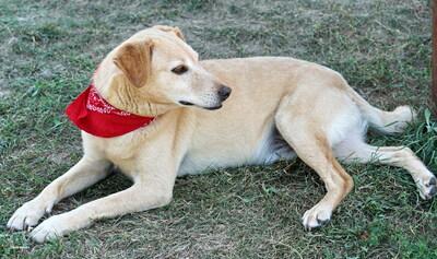 BILLY - überaus verschmust und anhänglich, sucht menschliche Nähe, kuschelt gerne, gutmütig und menschenbezogen, Labrador Mischling (Video auf HP) - Rüde