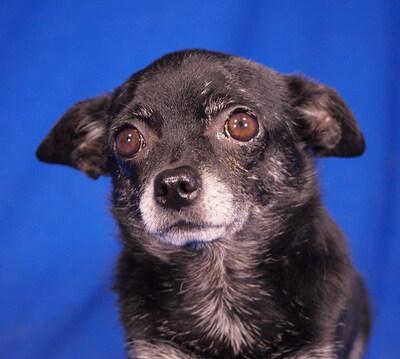 BLACKY - freundlich, anhänglich, neugierig, verschmust; anfangs ängstlich, könnte in Situationen, die er nicht versteht, schnappen, Chihuahua - Rüde