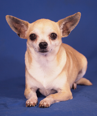 BORI - anhänglich, freundlich, neugierig, klug, katzenverträglich, zunächst ängstlich, Chihuahua - Hündin
