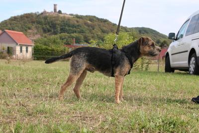 Balthazar Fayden PSI Mysteria, Border-Terrier - Rüde