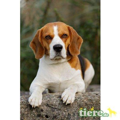 Beagle - Rüde
