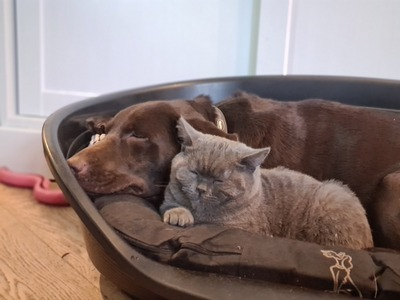 Bella, Labrador - Hündin