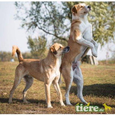 Ben, lieber, kastrierter, lebt im freien ohne Hund - Rüde