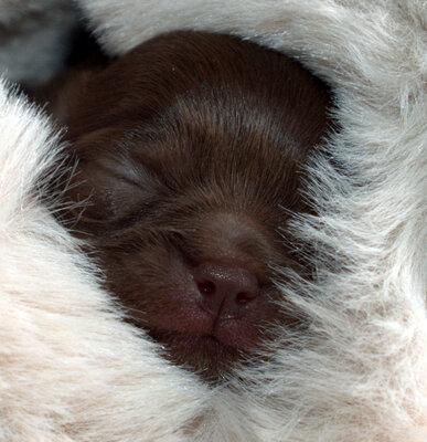 BernsteinChihuahua, Chihuahua langhaariger Schlag Welpen - Rüde, Chihuahua Welpen - Rüde