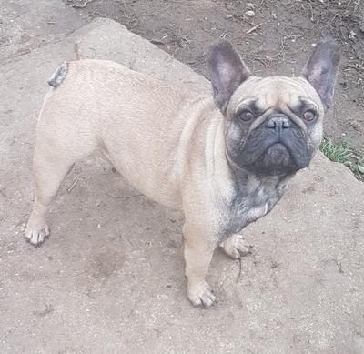 Biggi, Kiwi, Französische Bulldogge - Hündin