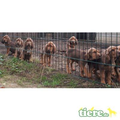 Bloodhound Welpen - Rüde 1