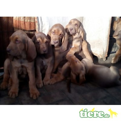 Bloodhound Welpen - Rüde