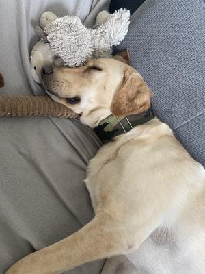 Bobby, Labrador und unbekannt - Rüde