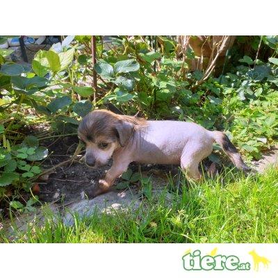 Bonicacio, Chinesischer Schopfhund Hairless-Schlag - Rüde