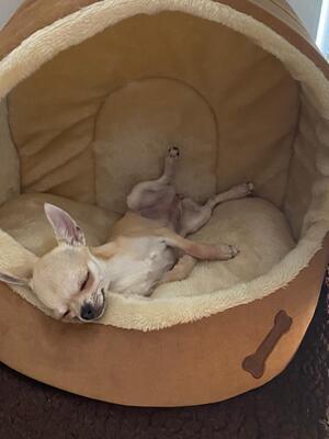 Bony, Chihuahua - Hündin 1