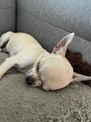 Bony, Chihuahua - Hündin