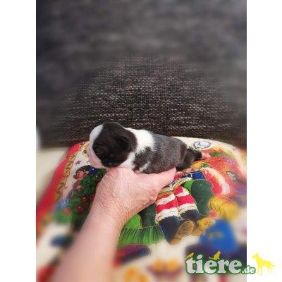 Boston Terrier Welpen - Hündin