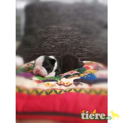 Boston Terrier Welpen - Rüde