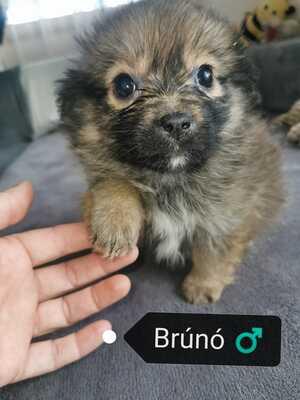 Bruno, - Rüde