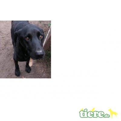 Bubu, Labrador, Retriever - Rüde