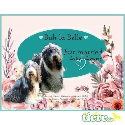Buh La Belle , Bearded Collie Welpen - Hündin 1