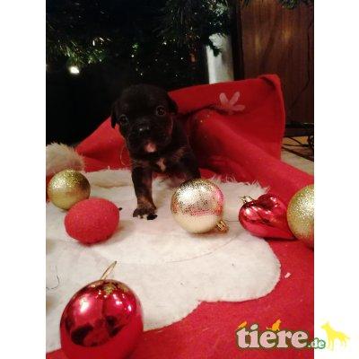 Bulldog Welpen - Rüde 1