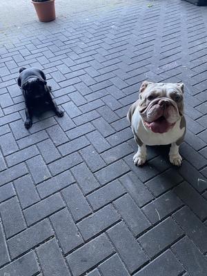 Bulldoggen - Rüde