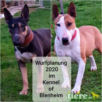 Bullterrier Welpen - Hündin