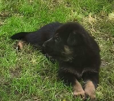 C, Deutscher Schäferhund Welpen - Hündin